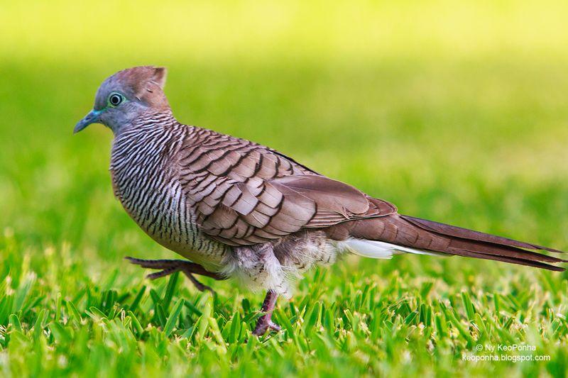 31 Jenis Burung Perkutut Lengkap dengan Ciri-Ciri dan Mitosnya