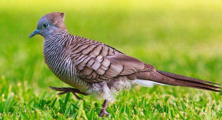 Burung Perkutut (keoponha.blogspot.co.id)