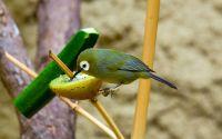 Burung Pleci terkena efek doping (commons.wikimedia.org)