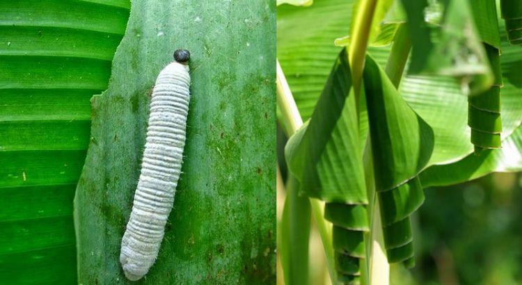 Ulat daun pisang (muraibatu.link)