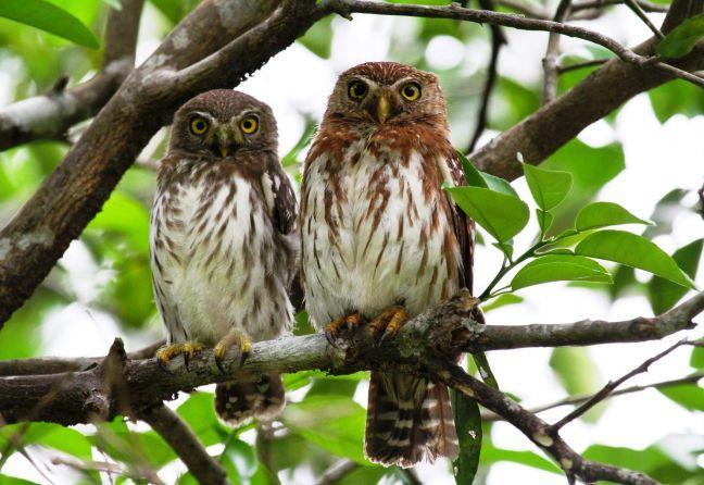 Burung Ferruginous Pygmy Owl (hbw.com)