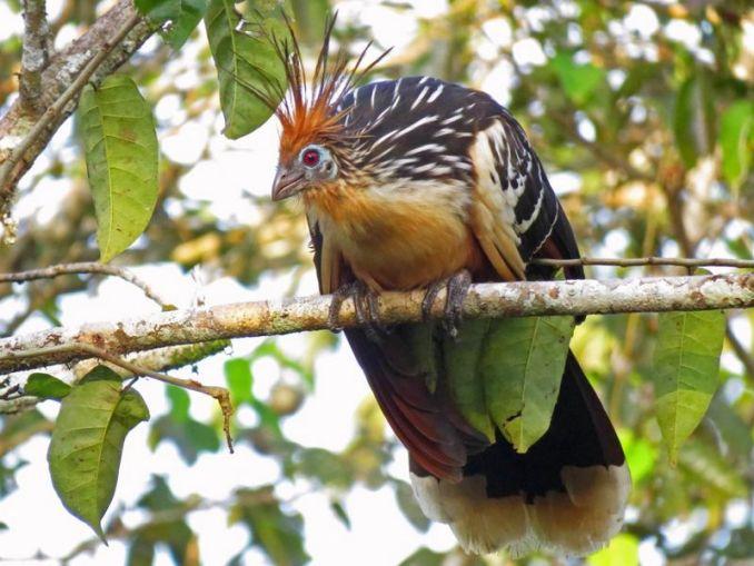 Burung Hoatzin Chick (massaudubon.org)