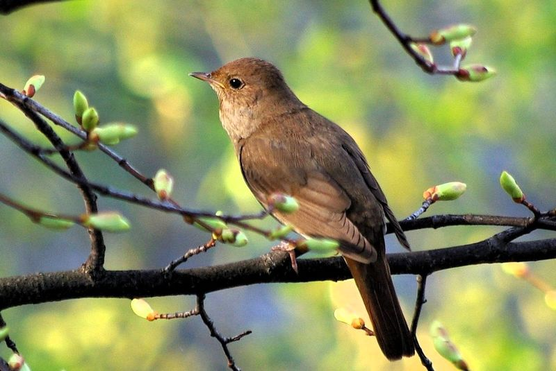 Burung Thrush Nightingale (wikipedia.org)