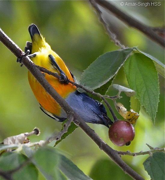 Burung makan buah Talok (besgroup.org)
