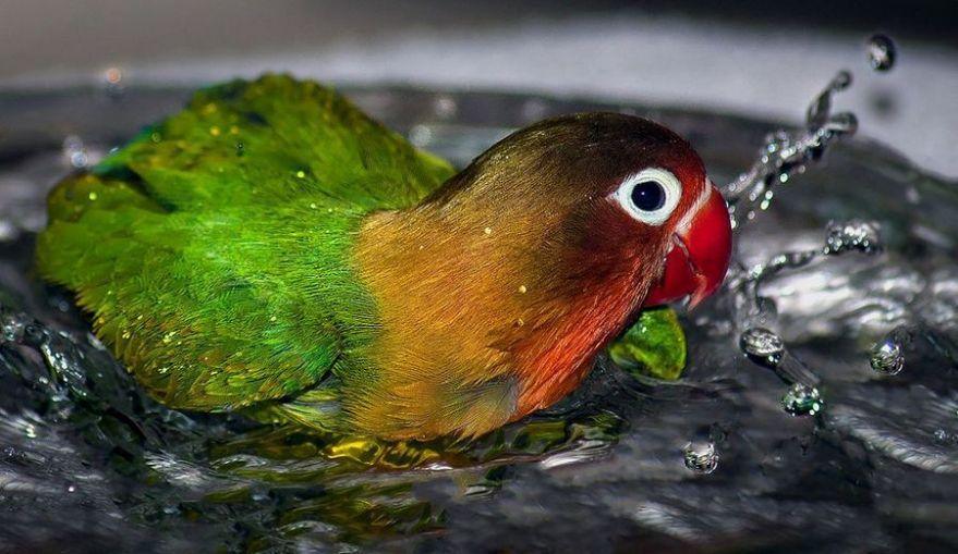 6 Cara Membuat Ramuan Alami Untuk Memandikan Burung Kicau