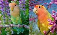 Jenis Lovebird yang bagus (facebook.com)