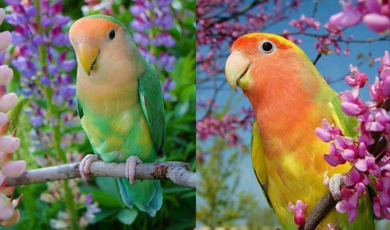 10 Jenis Lovebird yang Paling Bagus dan Trend Warna Lovebird Terbaru