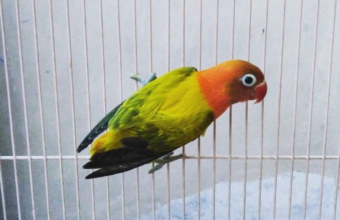 Lovebird Euwing (instarix.com)