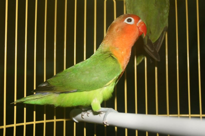 Lovebird Import Holland (radjaburung.blogspot.com)