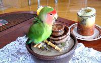 Terapi Lovebird biar gacor dan ngekek panjang (youtube.com)
