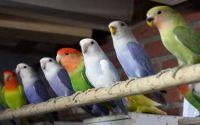 Koloni Lovebird (www.gumtree.com)
