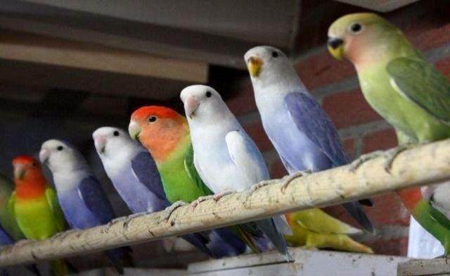 8 Penyebab Burung Stres di Kandang Koloni Lengkap dengan 6 Solusi Mengatasinya