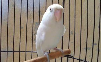 Lovebird Belalang Tempur (kaskus.co.id)