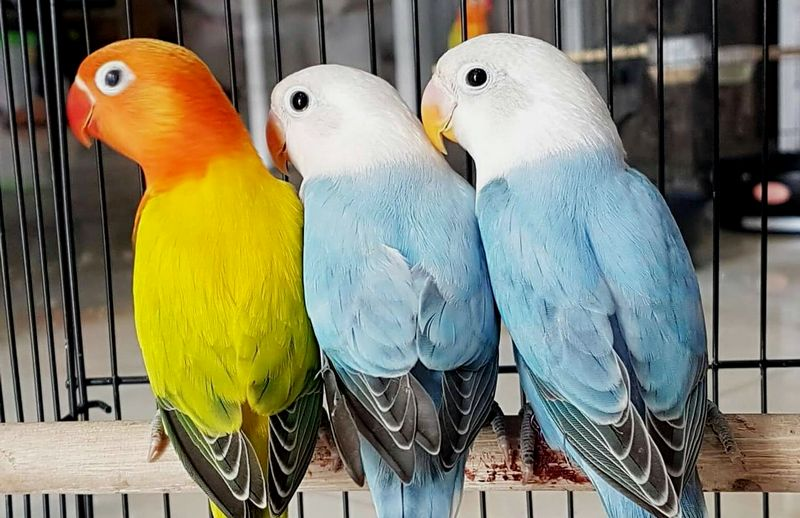 15 Jenis Warna Lovebird Termahal dan Paling Dicari Kicau Mania