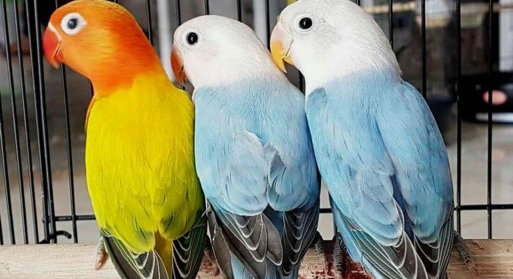 Lovebird Biola Euwing dan Lovebird Biola Blue (Lovebirdloverindonesia.blogspot.co.id)