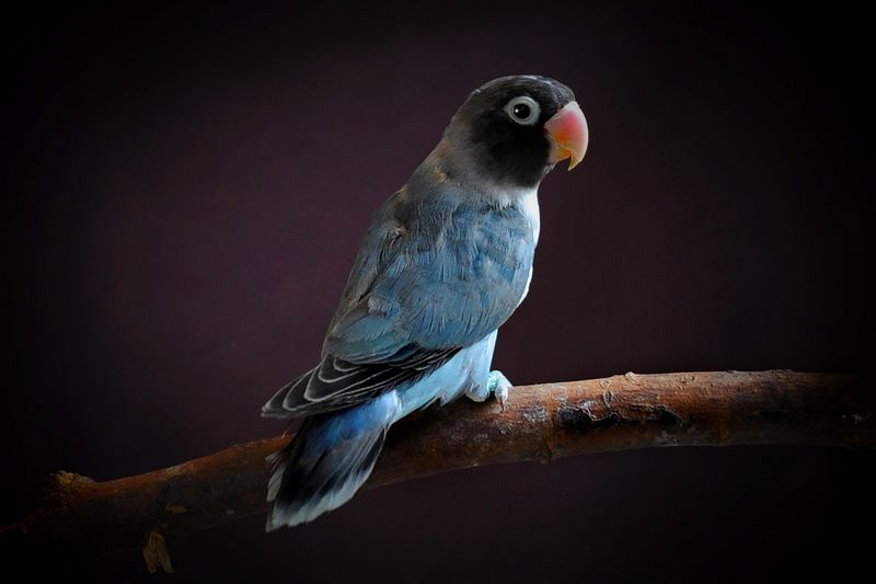 Lovebird Cobalt (animalia-life.club)