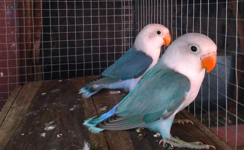 15 jenis warna lovebird termahal dan paling dicari kicau