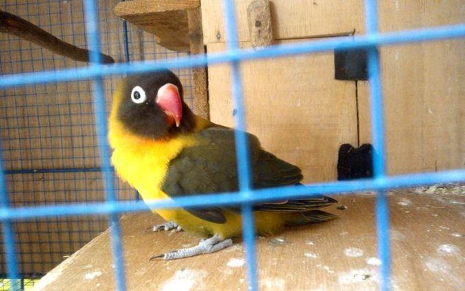Lovebird Olive (Kaskus.co.id)