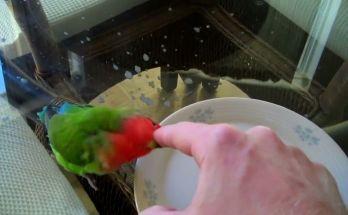 Manfaat air garam untuk Lovebird (youtube.com)