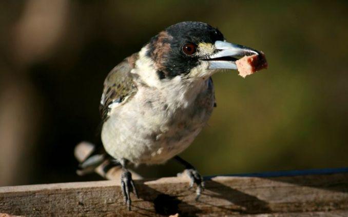 Burung kicau makan tahu (birdsinbackyards.net)