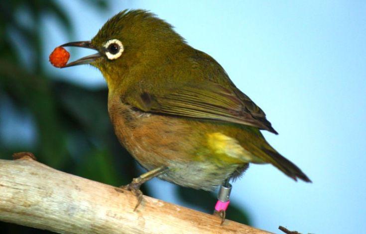 Cara mengatasi Pleci macet bunyi (teboklovebird.com)