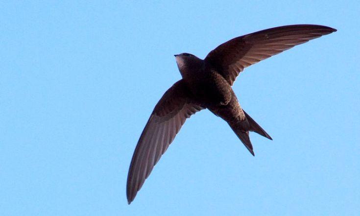 Burung Walet terbang (ccr946.ie)