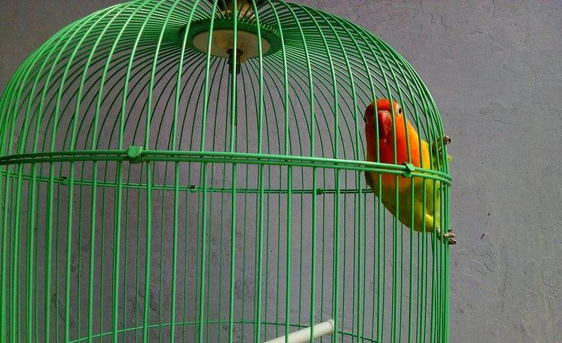 7 Cara Mengatasi Lovebird Hanya Ngetik di Lomba dan Tidak Mau Ngekek