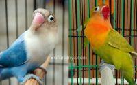 Lovebird paruh merah vs Lovebird paruh putih (imgrum.org)