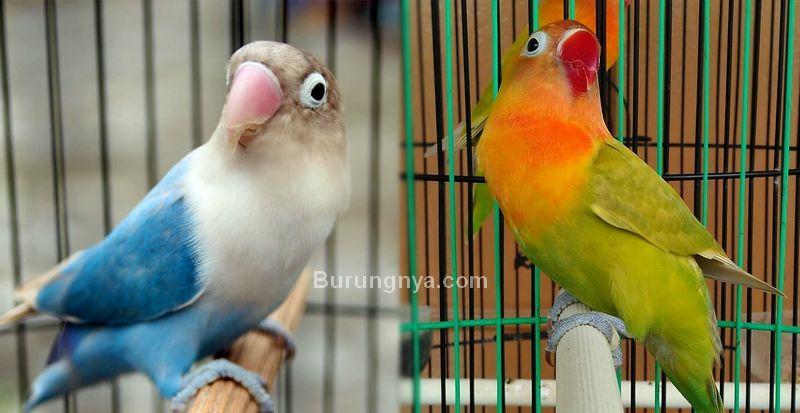 Lovebird Paruh Merah vs Lovebird Paruh Putih, Pilih Mana?