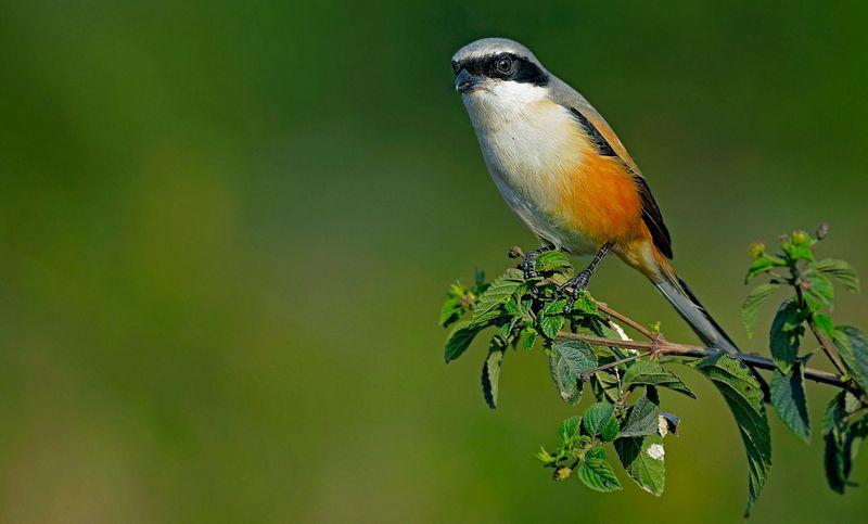 Burung Cendet gacor di alam (plus.google.com)