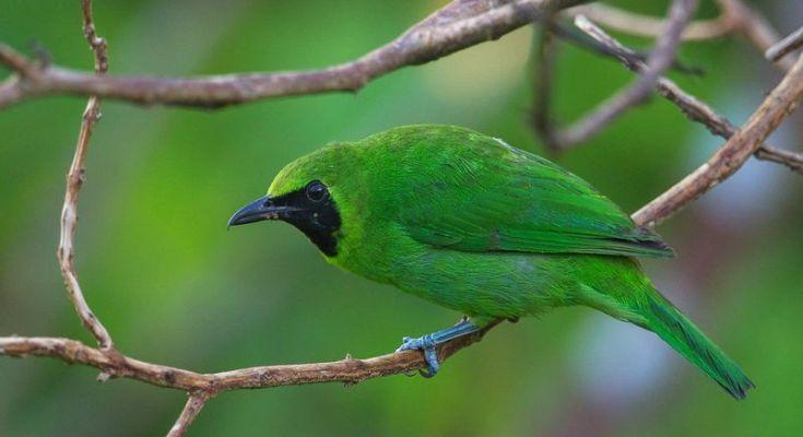 Ciri Cucak Ijo yang bagus (singaporebirds.com)