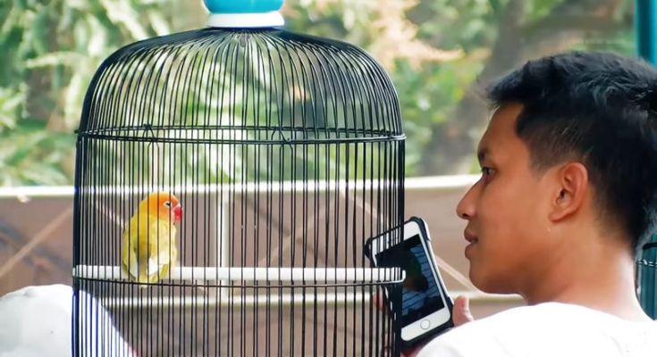 Lovebird Cepot langsung ngekek panjang sebelum digantang (youtube.com)