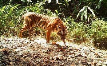 Mencari burung di hutan bertemu Harimau Sumatera (mongabay.co.id)