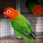Asal usul Lovebird Biola dan ciri-cirinya (ibujemari.com)