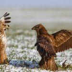Burung Elang langka dilindungi undang-undang dan pemerintah (pinterest.com)
