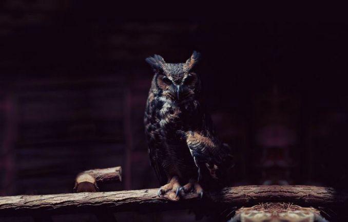Burung Hantu Bubo Sumatranus di kegelapan (wallpprs.com)