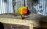 Ilustrasi Lovebird makan rumput (youtube.com)