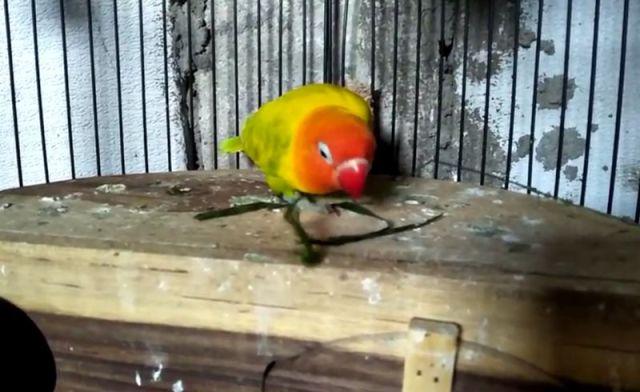 Dikasih Makan Rumput, Lovebird Ini Langsung Ngekek Panjang