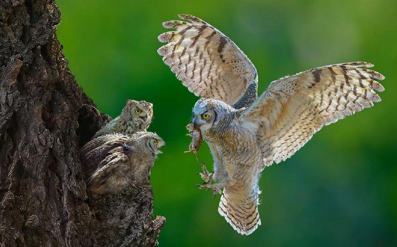 Cara memberikan makan burung Hantu besar (photoclubkragujevac.com)