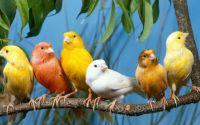 Fakta Menarik Tentang Burung Kenari (moreuknews.net)