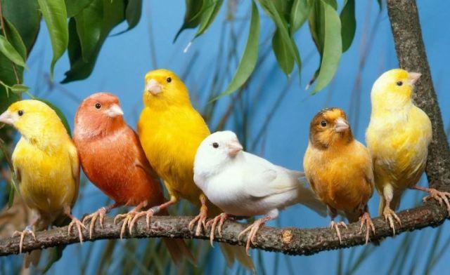 10 Fakta Menarik Tentang Burung Kenari yang Jarang Diketahui