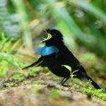 Kemunculan Jenis Burung Cenderawasih Baru di Papua Barat