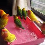 12 Perbedaan Lovebird Tipe Panas dan Lovebird Tipe Dingin