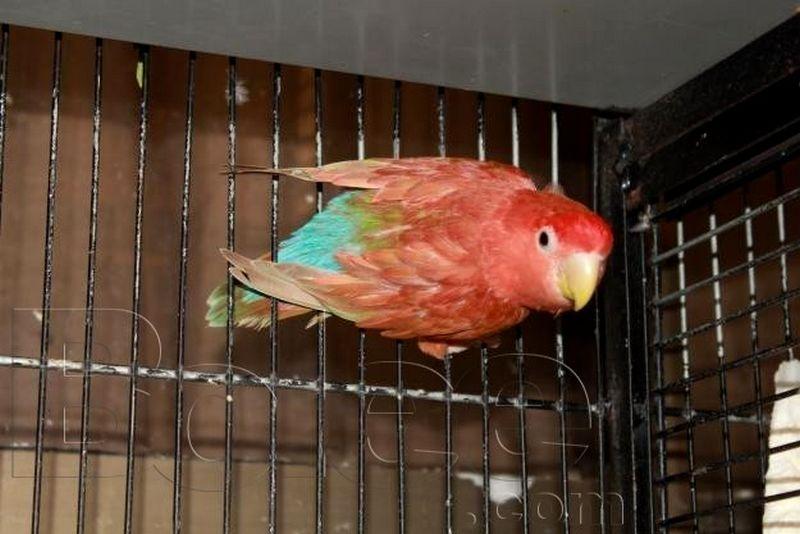 Lovebird Biola Merah (bolee.com)