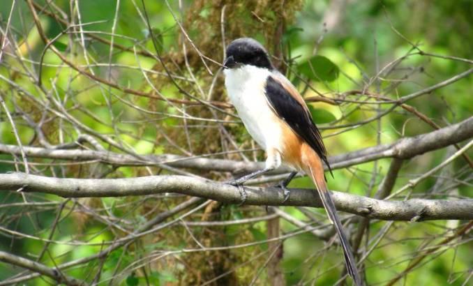 Ciri-ciri dan Kelebihan Cendet Madura (tropics.nu)
