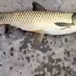 Ikan Aneh Berkepala Burung (livescience.com)