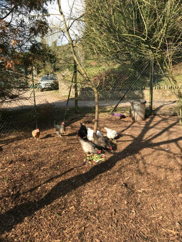 Chickens Bury Hill Farm Bristol