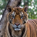 Tiger at Noahs Ark Zoo Farm Bristol