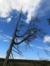 Hohes Venn - abgestorbener Baum