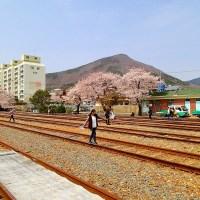 A Cherry Blossom Road Trip to Jinhae